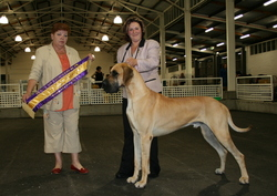 Chase - Best in Specialty Show, Great Dane Club of Victoria, November 2007.  The judge was Great Dane specialist Mrs Linda Van Da Vijver (Netherlands).   Mia won bitch Challenge and was best opposite in show.
